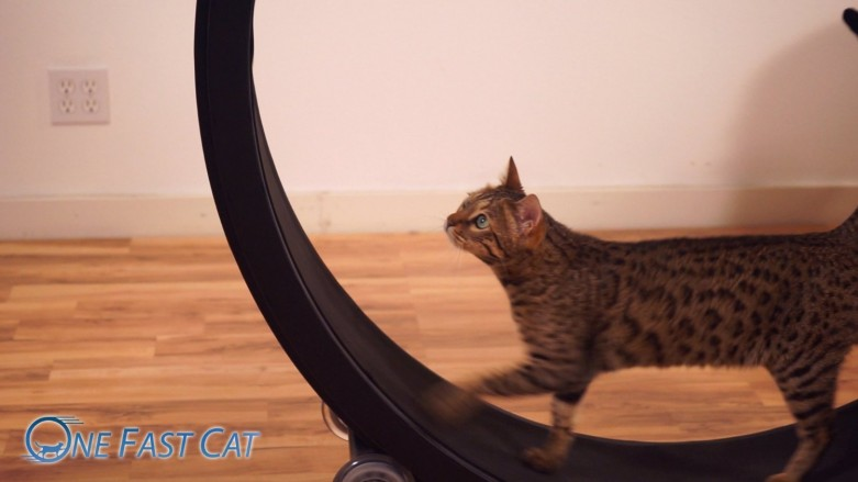 One Fast Cat Exercise Wheel